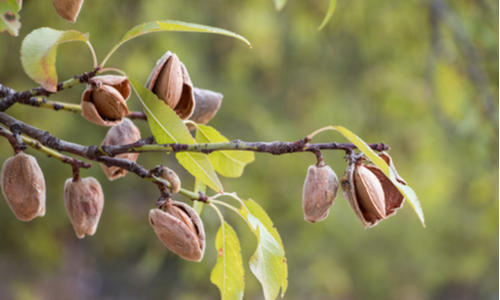 Ripe almonds on the tree. PHOTO: Shutterstock